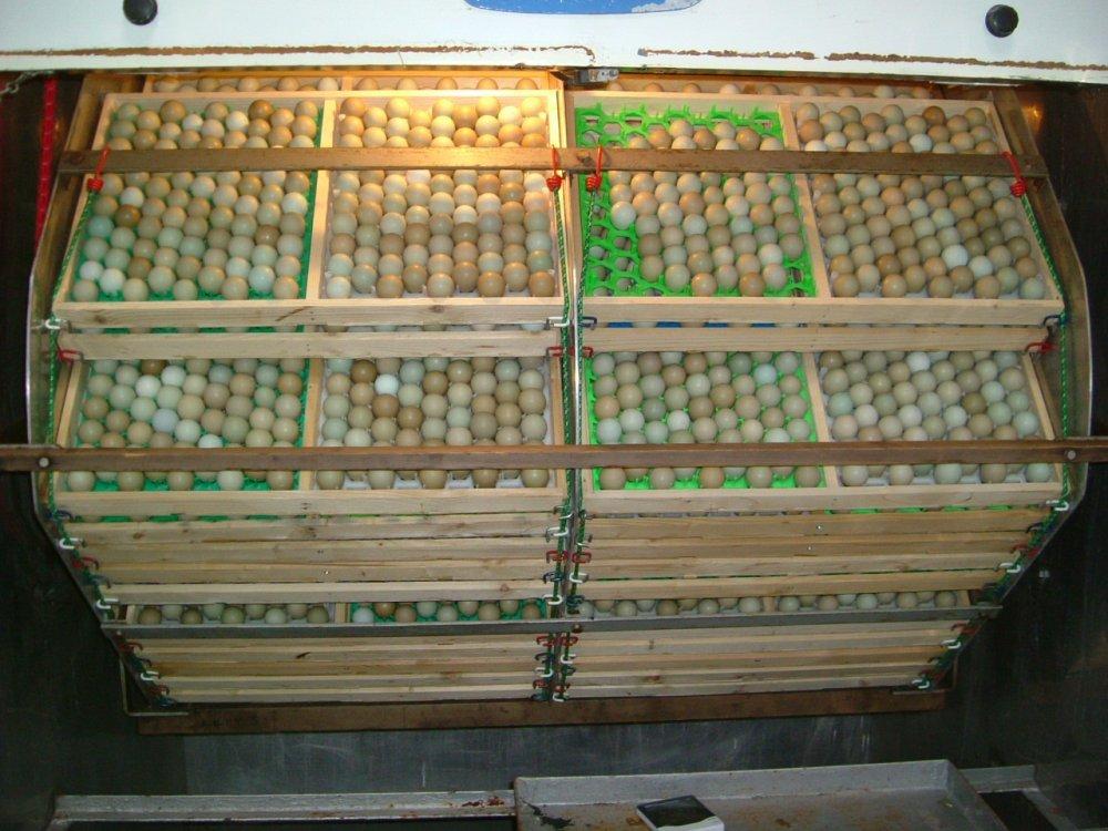 شراء Grade A broiler hatching eggs Cobb 500 and Cobb 700 and Ross 308