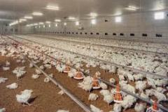 Production of Broiler