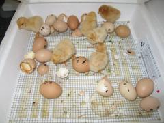 [Copy] broiler hatching eggs Cobb 500 and Cobb 700 and Ross 308