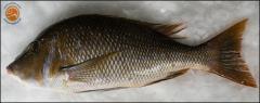 Fish(Emperor)
