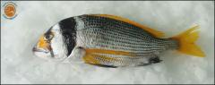 Fish(Black banded bream)